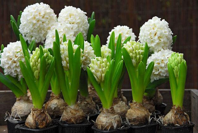 jarna_svadba_hyacinty